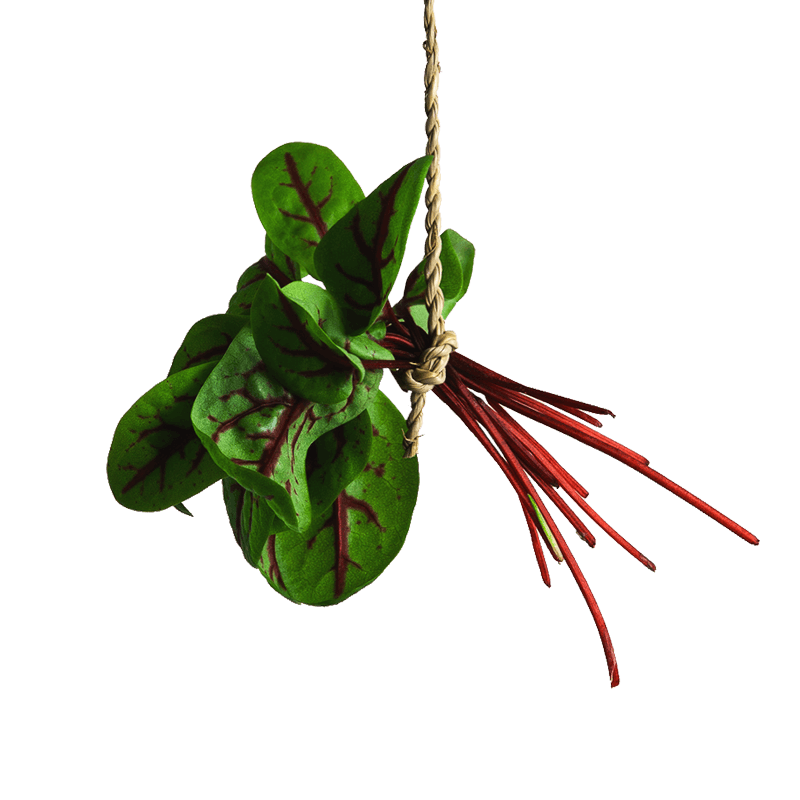 Micro Red Veined Sorrel