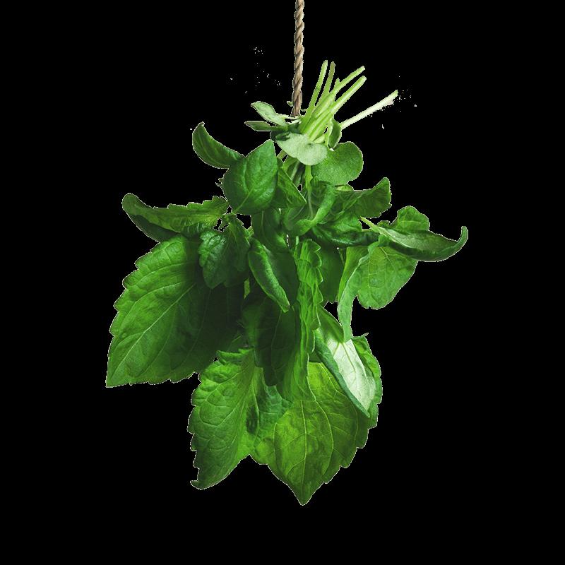 Micro Green Shiso
