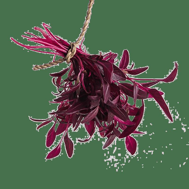 Micro Red Amaranth